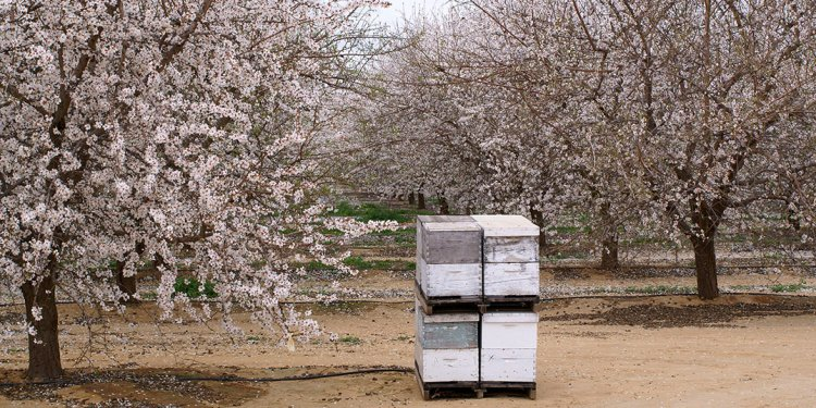 Acres of almond trees