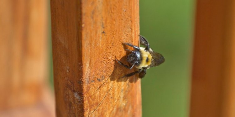 Carpenter Bee Control and