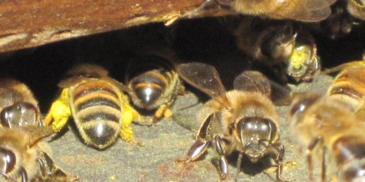 Albert Einstein Bees