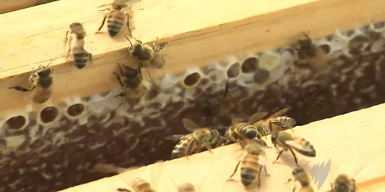 Rooftop beekeeping on the rise