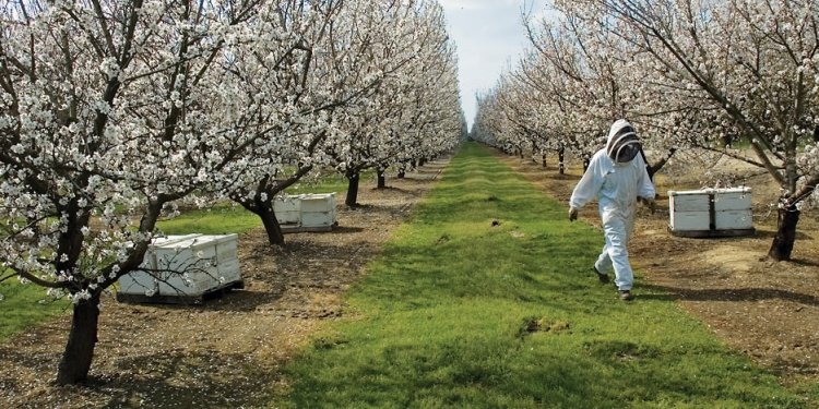 An almond orchard in Modesto