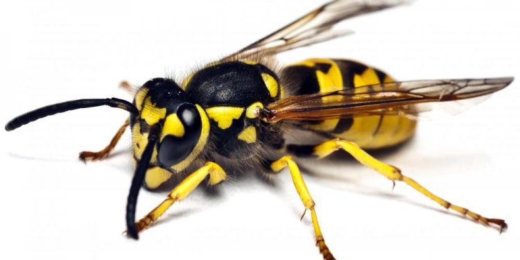 A meat bee is actually a