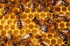 A colony of bees make honey