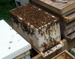A nucleus hive overflowing with bees.