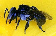 native Australian stingless bee