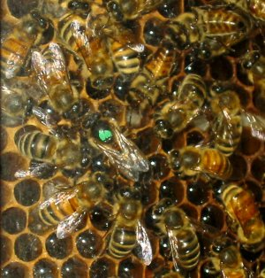Queen Bee Circle Of Attendants