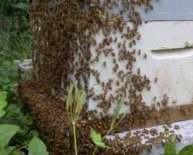 Getting Started with honey bees
