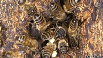 Wild honey bee colony